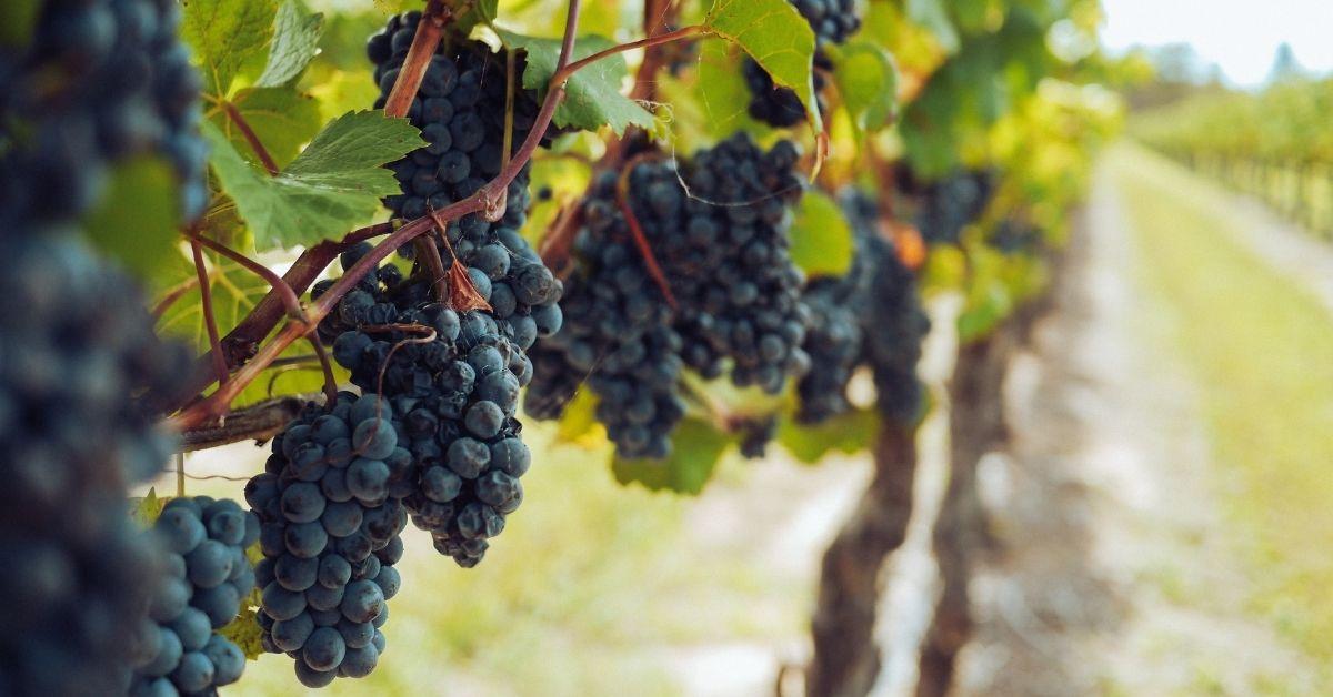 víno Chianti
