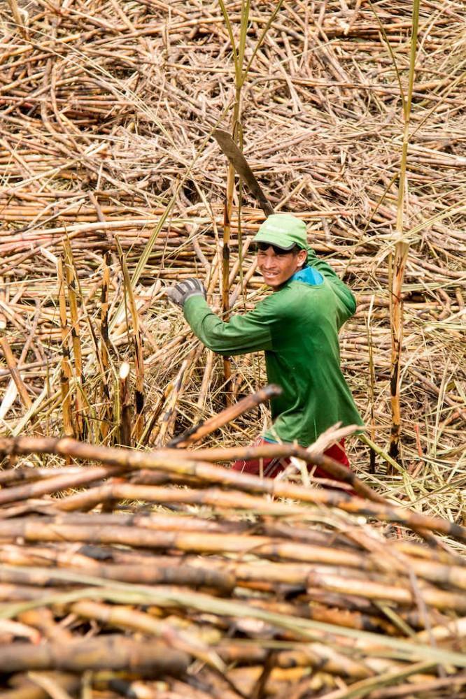Farmář s mačetou ručně sklízí cukrovou třtinu