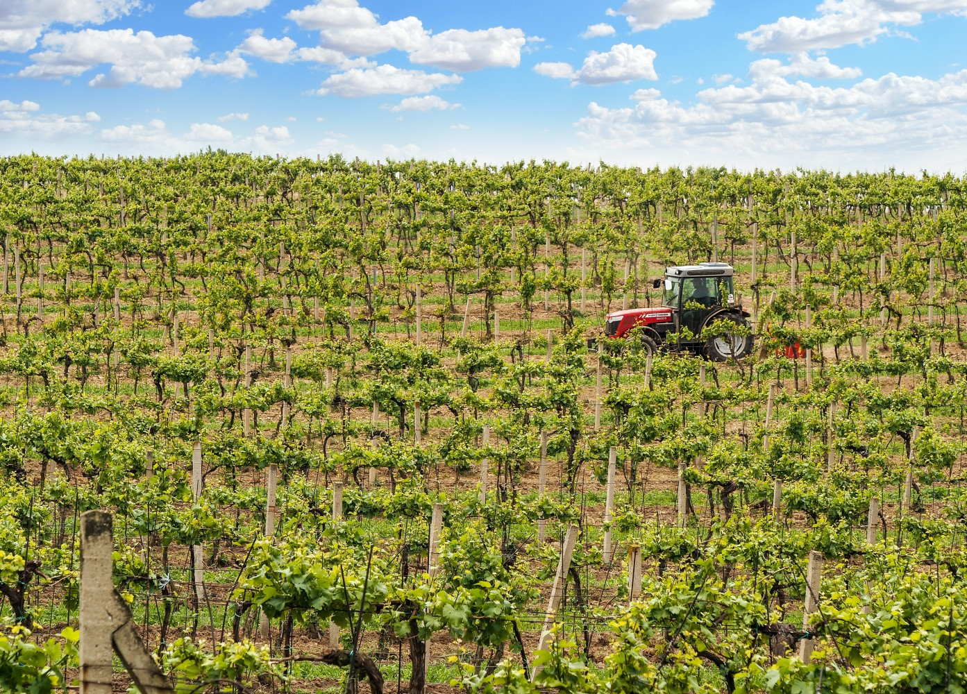 Italský vinohrad, kde rostou hrozny pro prosecco